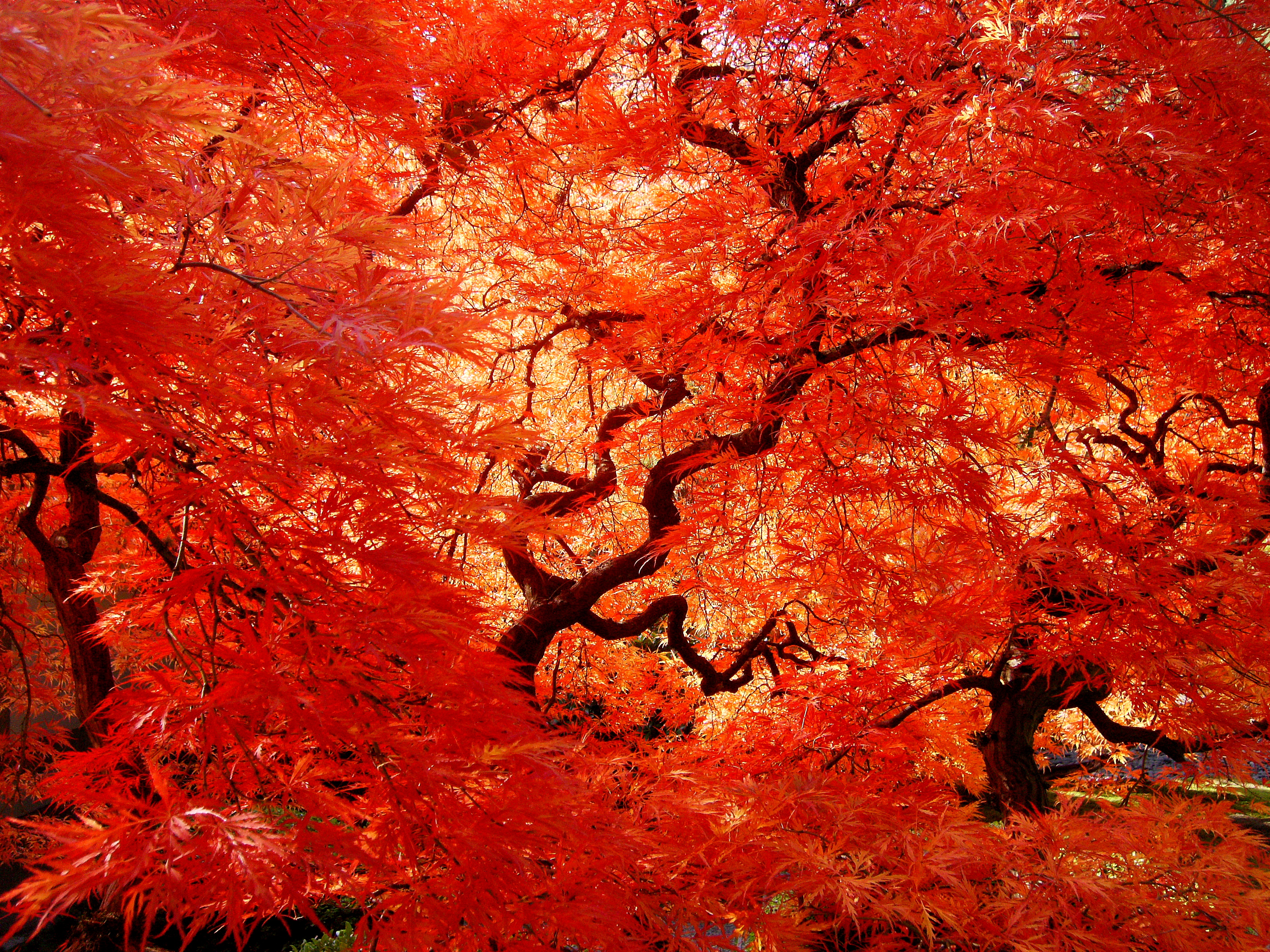 japanese maple tree facts garden guides